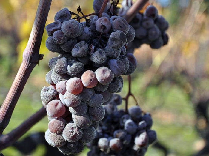 Gray mold on grapes