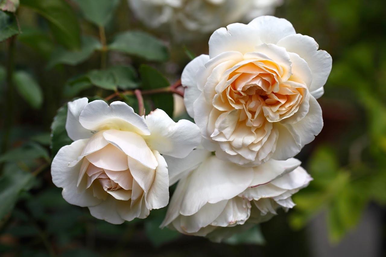 Троянда личфилд Энджел фото