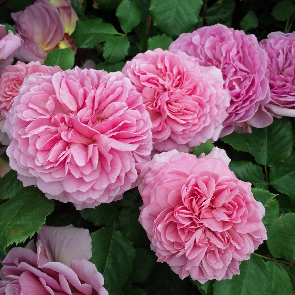 Троянда принцеса оф Кент