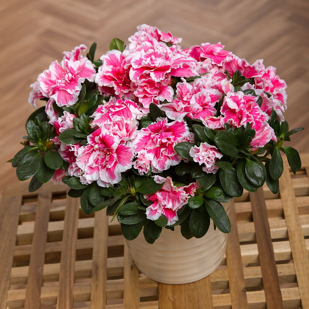 Азалія квітка фото