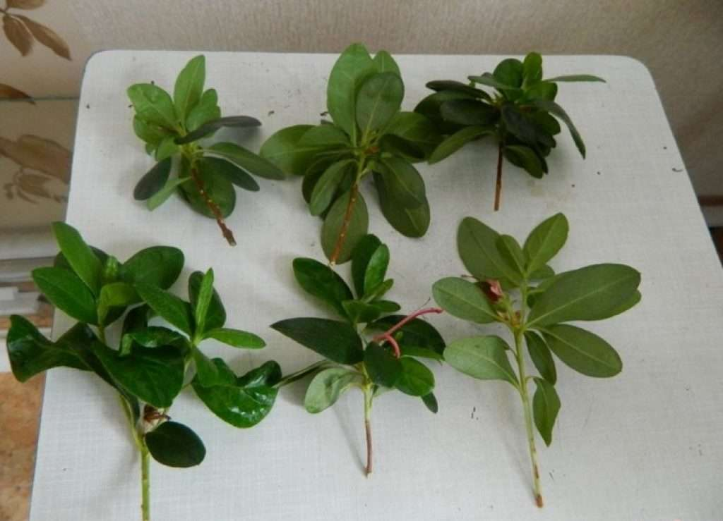 Azalea cuttings