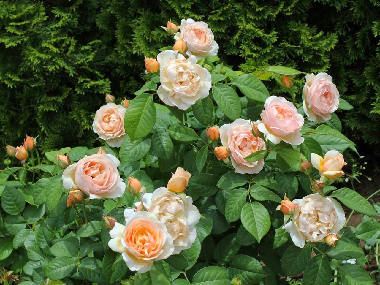 Троянда Остина Джульетта