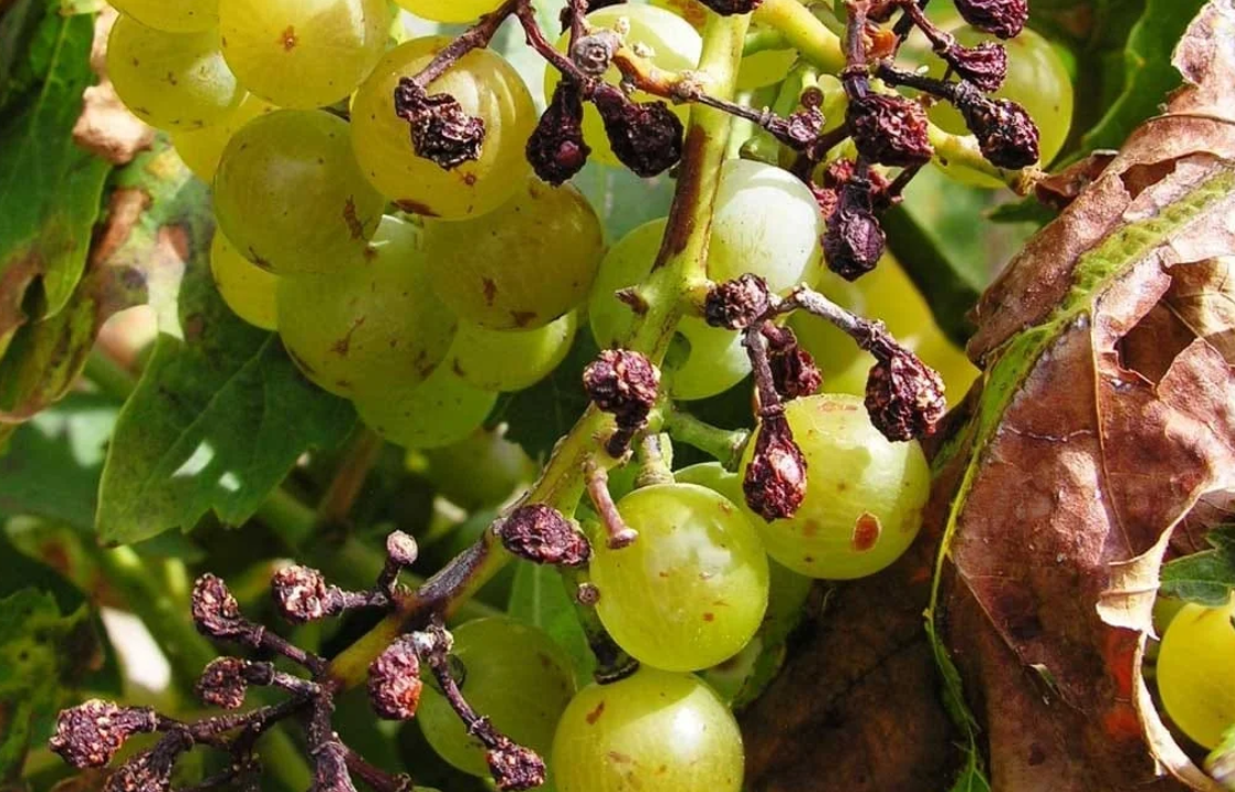 Diseases of the grape harvest