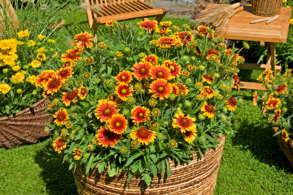 Гайлардия многолетняя фото в саду