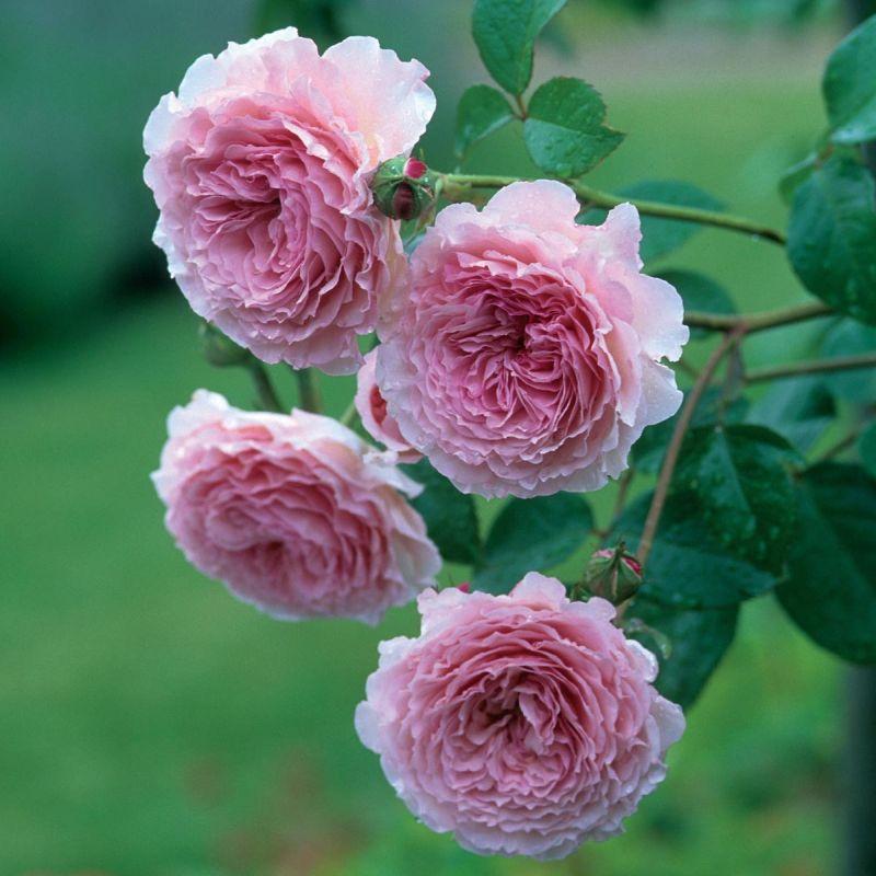 Англійска троянда James Galway