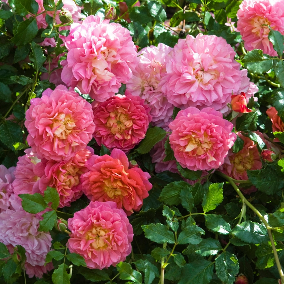 Christopher Marlowe роза
