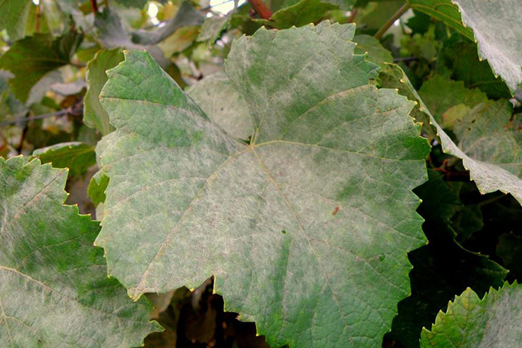 МPowdery mildew on grapes picture