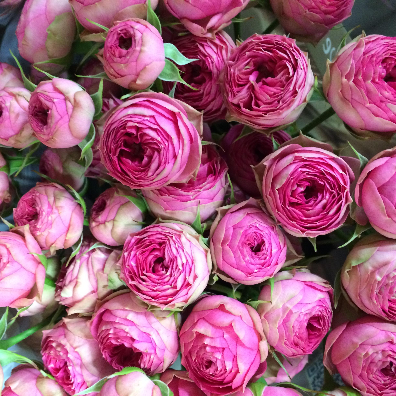 Фото піоновідние троянд