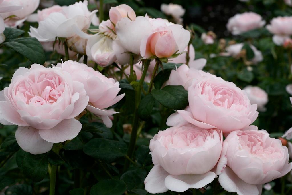 Троянда Квін оф шведен фото