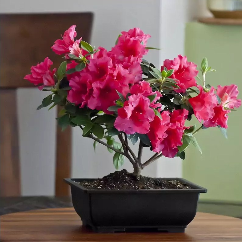 Photography room Azalea rhododendron