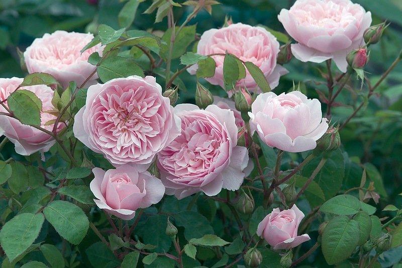 Остин Розалінд троянда
