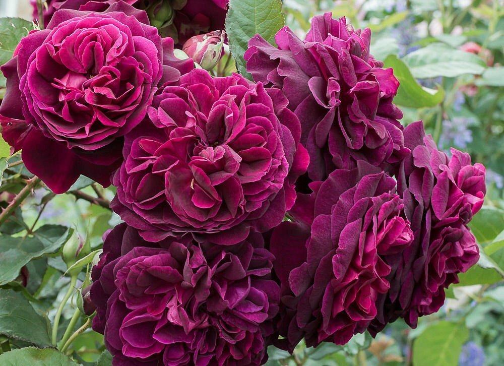 Троянда шраб Манстед Вуд