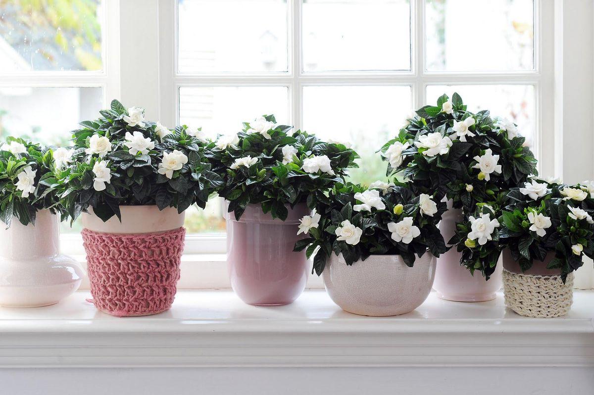 Gardenia on the windowsill picture