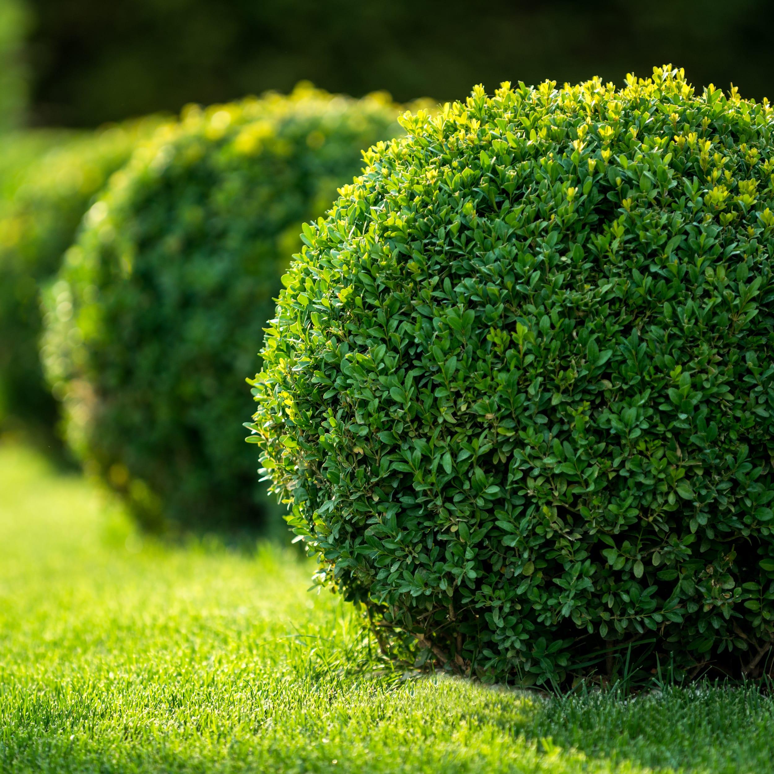Buxus sempervirens (самшит вечнозелёный) 'Aureovariegata'