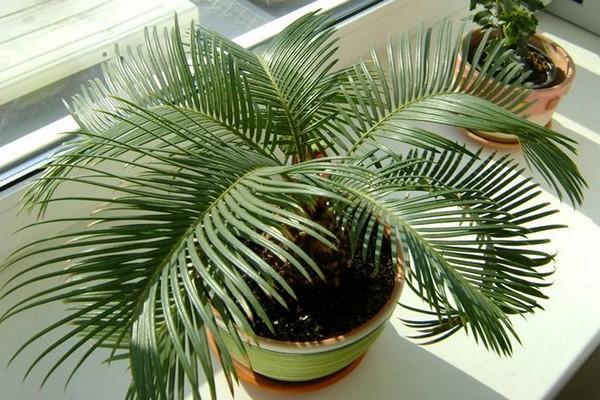 Выращивание пальмы цикас саговника